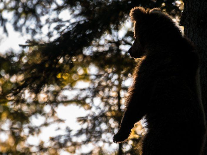 junger Bär im Gegenlicht, Wildlife-Fotografie, Slowenien