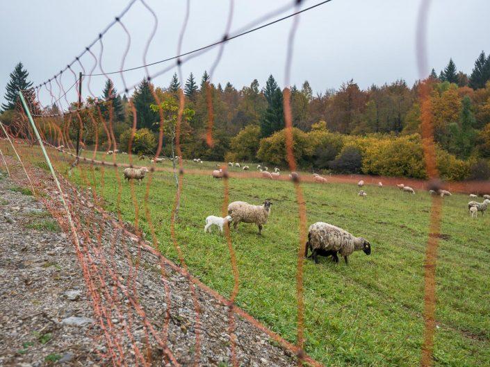 Elektrozaun zum Schutz von Schafen vor Bär