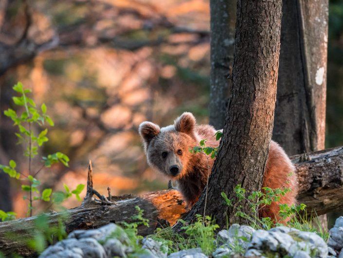 Junger Bär im Wald, rotes Abendlicht, Slowenien