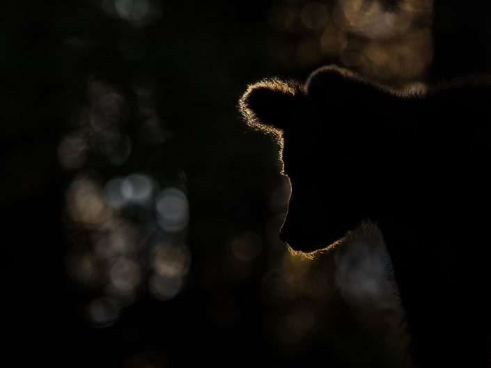 Silhouette eines Bären