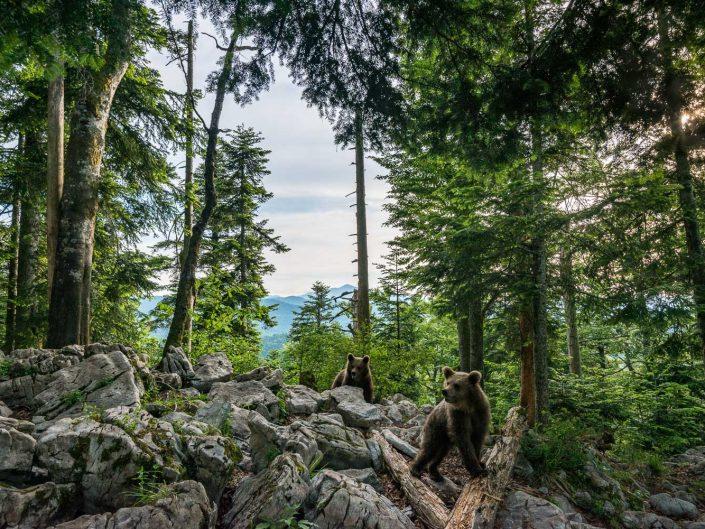 Weitwinkelaufnahme von Bären in Landschaft, Slowenien