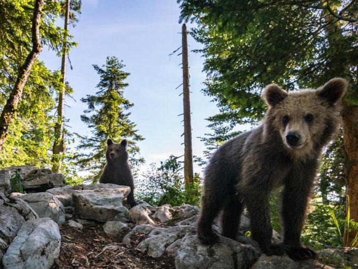 Weitwinkelaufnahme von Bären im Wald, Slowenien