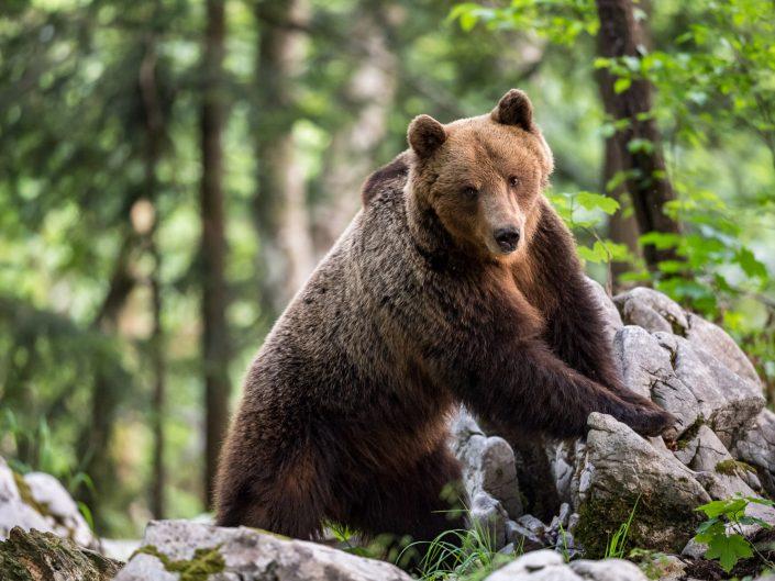 Europäischer Braunbär, Männchen