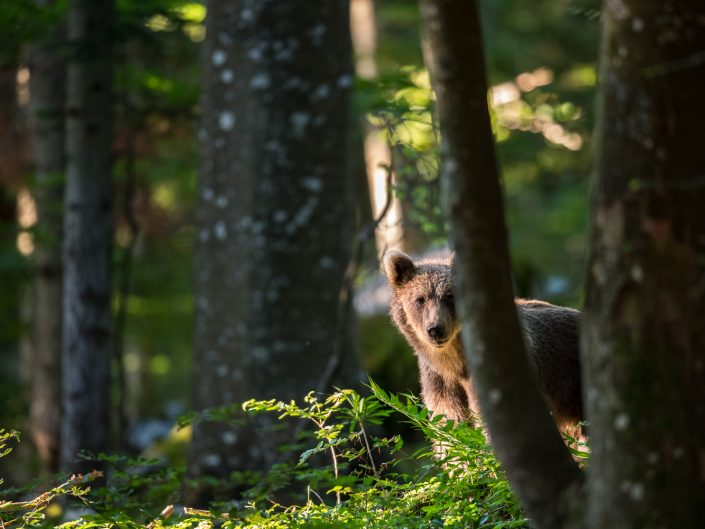 Bär versteckt im Wald
