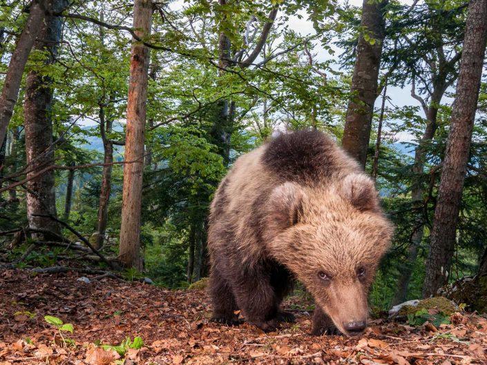 Bär blickt in Kamera, Fotofalle, Slowenien