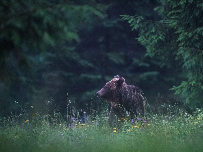 Bär auf Wiese
