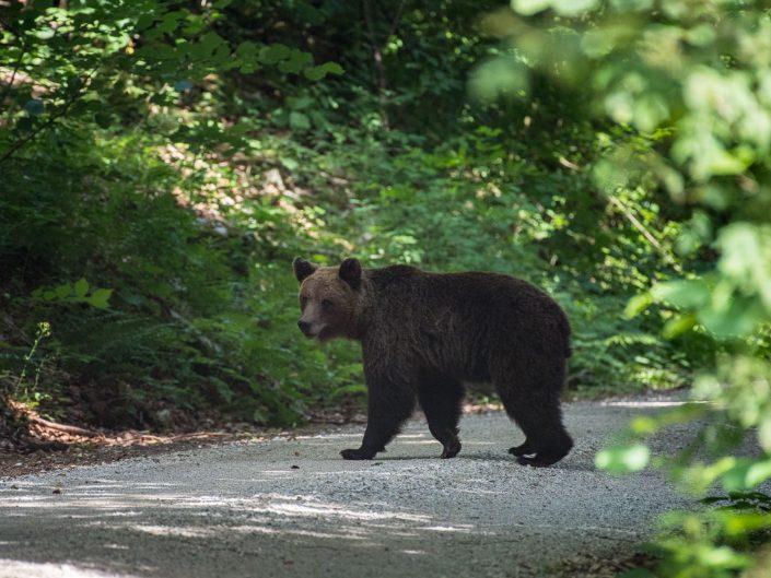 Bär überquert eine Straße in Slowenien
