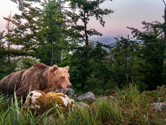 Europäischer Braunbär in Weitwinkel Fotofalle, Slowenien