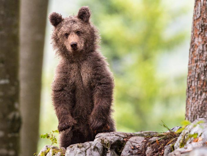 flauschiger Baby-Bär, stehend, Slowenien