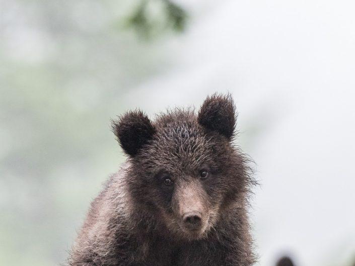 Junger Bär, Slowenien