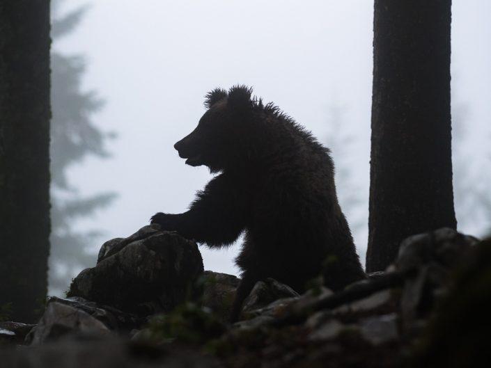 Europäischer Braunbär bei Nebel im Wald, Regionalpark Notranjska, Slowenien