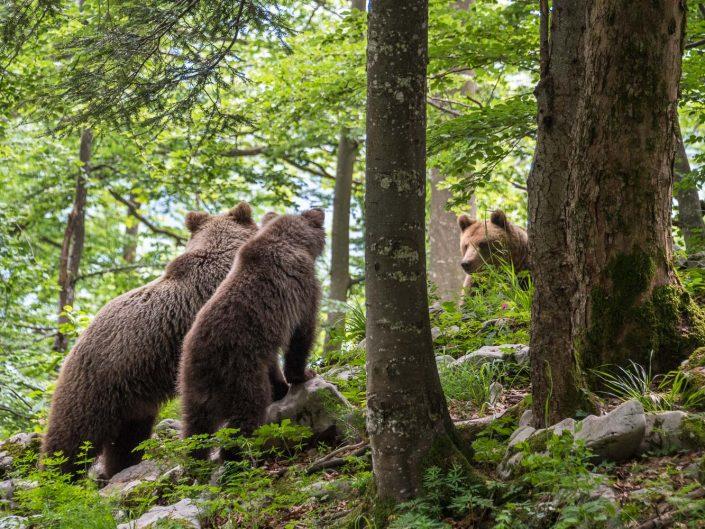Bären im Wald, Mutter beschützt Junges vor Männchen, Slowenien