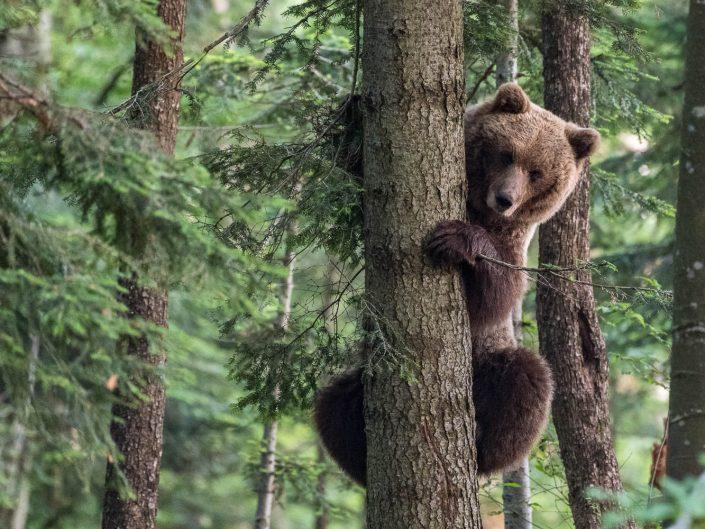 Europäischer Braunbär klettert auf Baum, Regionalpark Notranjska, Slowenien