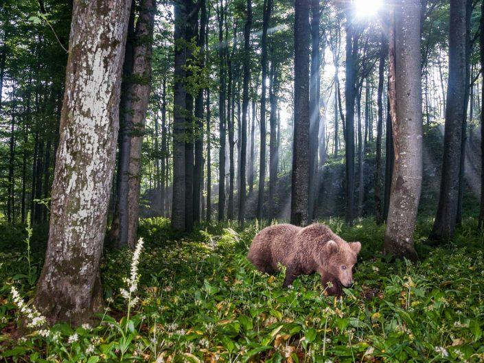 Europäischer Braunbär im Wald, Weitwinkel Fotofalle, Slowenien