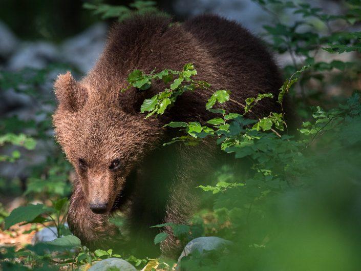 junger Bär im Wald