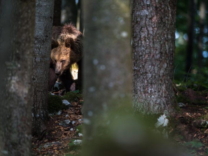 Europäischer Braunbär blickt durch Bäume, Slowenien