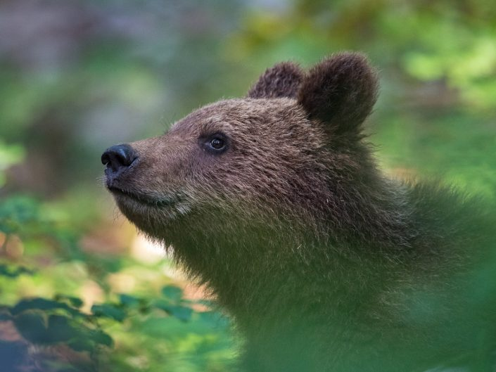 Bärenportrait