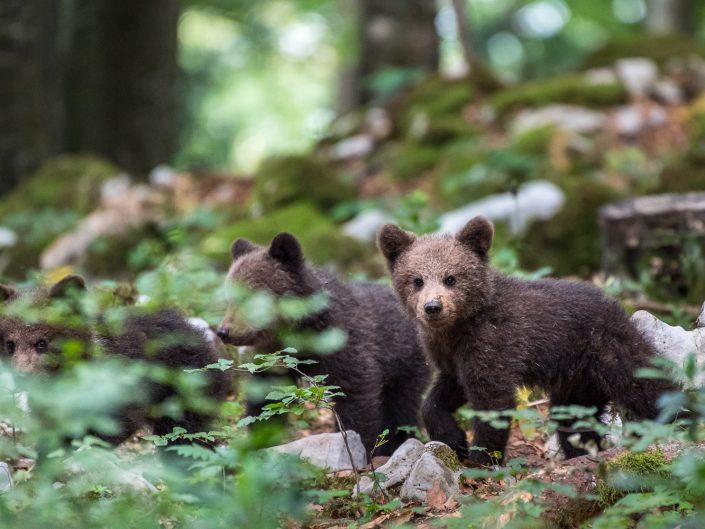 Drei Baby-Bären im Wald, Slowenien