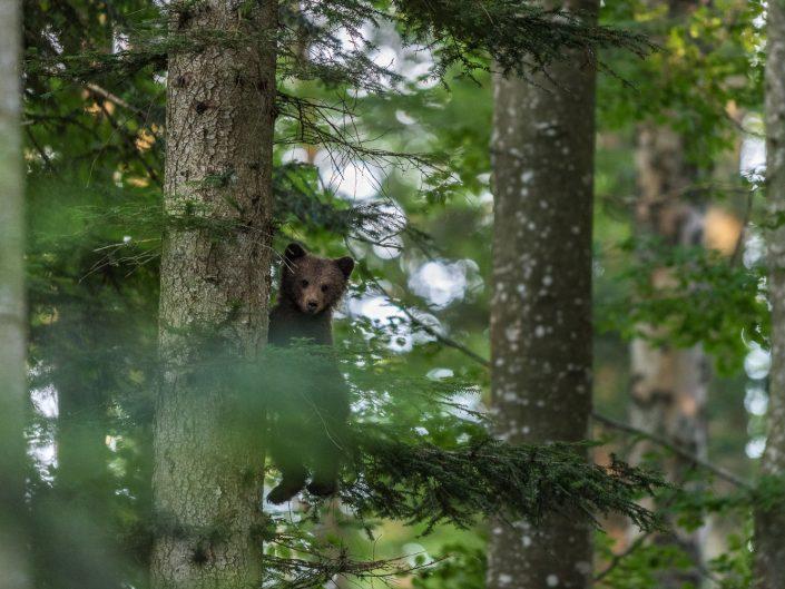 Baby-Bär klettert auf Baum, Slowenien