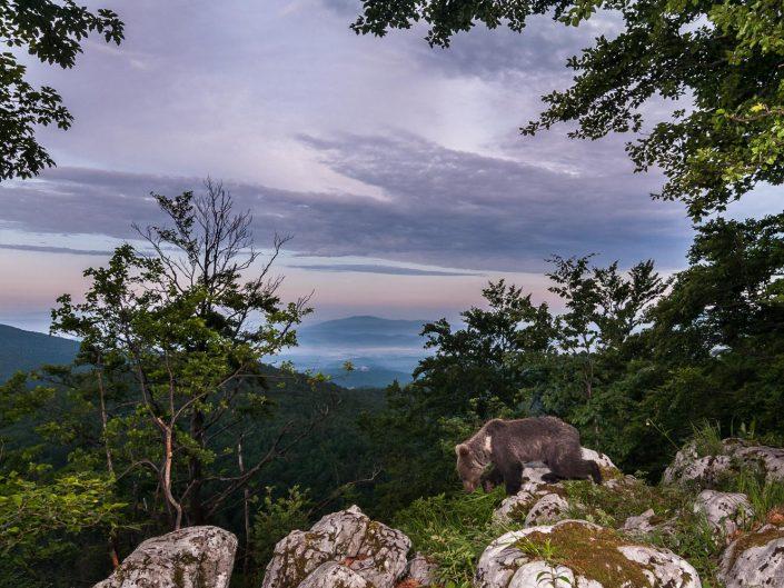 Europäischer Braunbär bei Dämmerung in Landschaft, Fotofalle, Slowenien