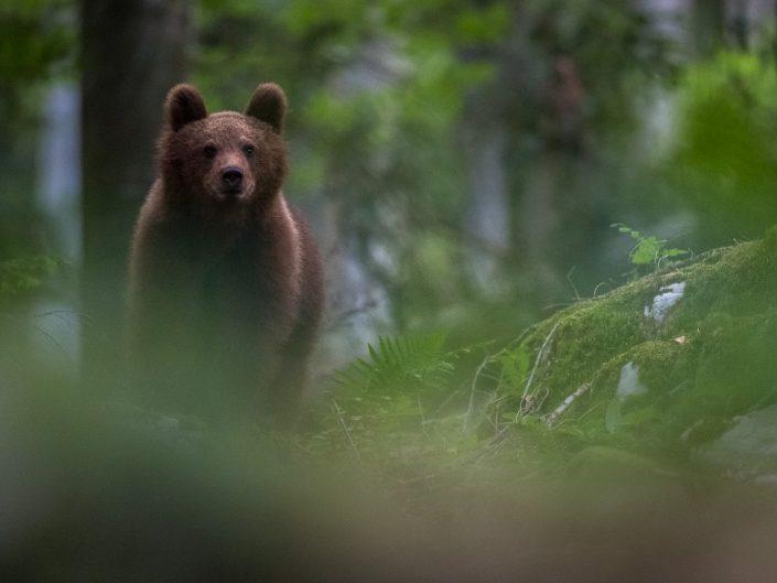 Europäischer Braunbär im Wald, Slowenien