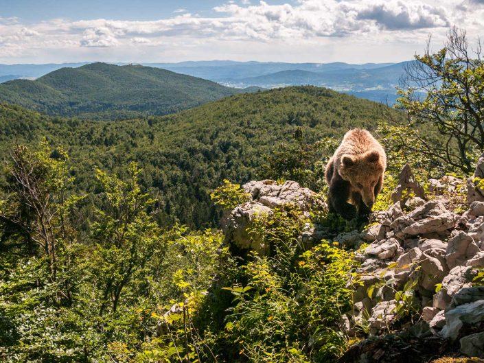 Europäischer Braunbär über den Wäldern Sloweniens, Fotofalle