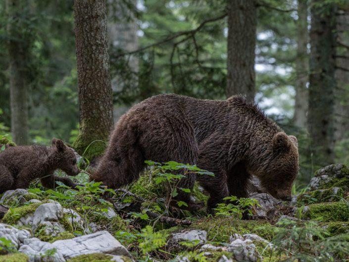 Europäischer Braunbär, Mutter mit Baby