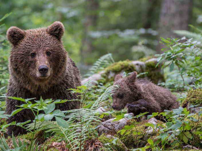 Europäischer Braunbär im Wald, Mutter mit Baby, Regionalpark Notranjska, Slowenien