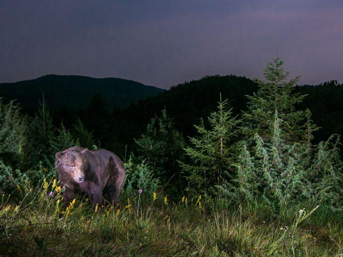Bär in Landschaft, Nachtaufnahme, Fotofalle, Slowenien