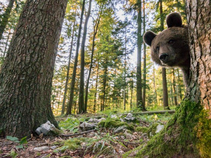 Bär blickt neugierig in Kamera, Südslowenien