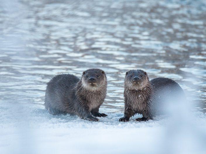 Zwei Fischotter auf gefrorenem See, Finnland