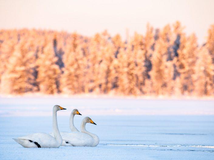 Singschwäne auf zugefrorenem See