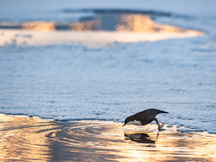 Wasseramsel springt ins Wasser, Finnland