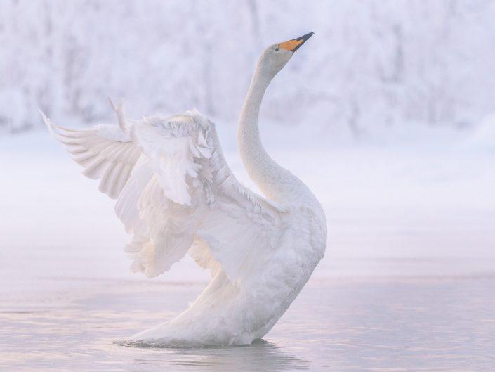 Singschwan mit gestreckten Flügeln