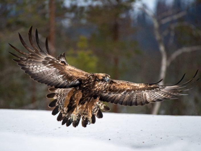 Steinadler im Flug, Oulanka Nationalpark, Finnland