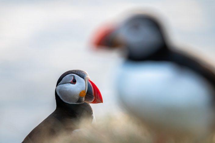 Papageientaucher, Vogelfelsen Latrabjarg, Westfjorde, Island