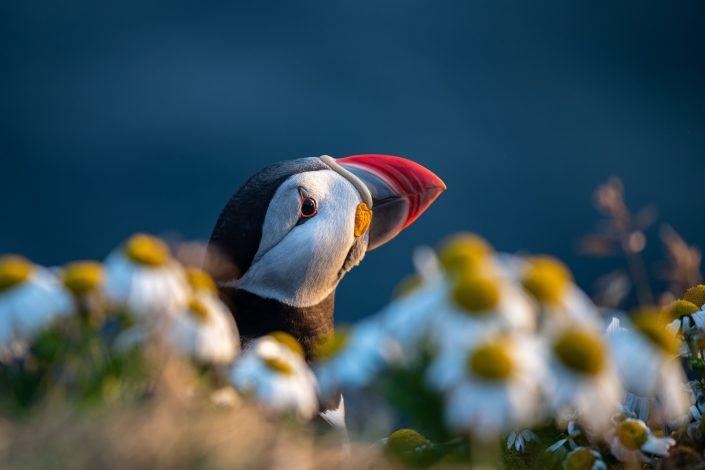 Papageientaucher in Blumen, Vogelfelsen Latrabjarg, Westfjorde, Island
