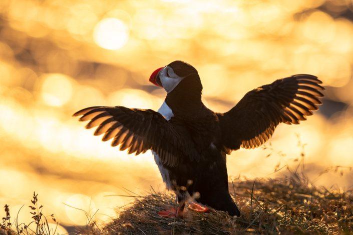 Papageientaucher im Gegenlicht, Vogelfelsen Latrabjarg, Westfjorde, Island