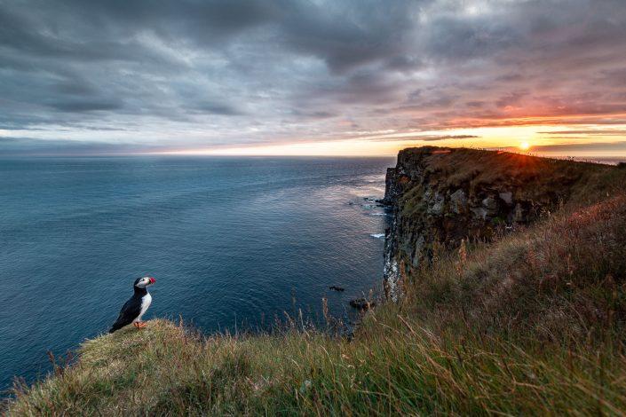 Papageientaucher bei Sonnenuntergang, Vogelfelsen Latrabjarg, Westfjorde, Island