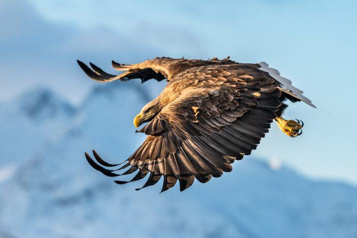 Seeadler, Lofoten, Norwegen