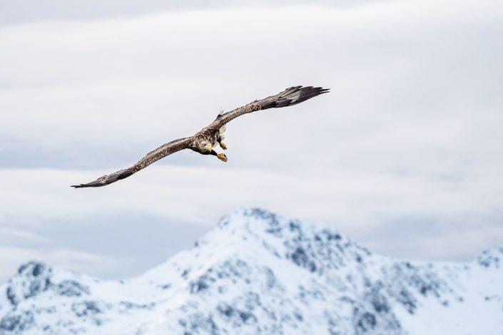 Seeadler vor den Bergen der Lofoten, Norwegen
