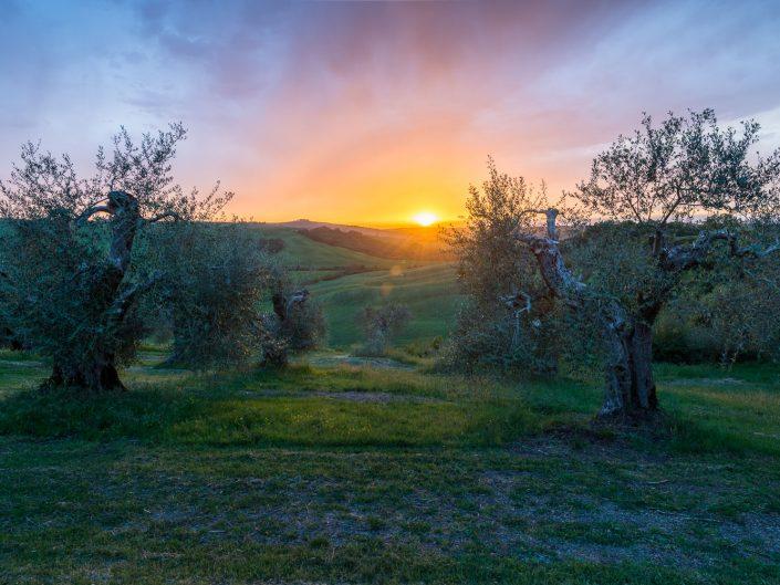 Landschaft der Toskana, Olivenhain bei Sonnenuntergang