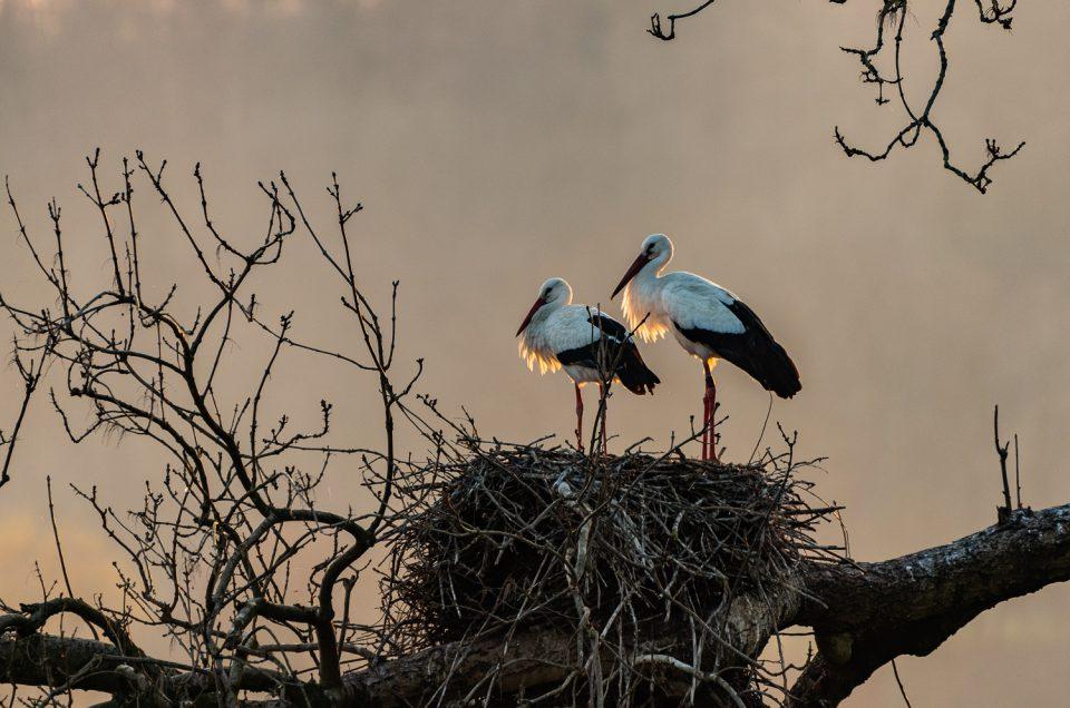 Vogelfotografie - Ein Frühling mit den Störchen