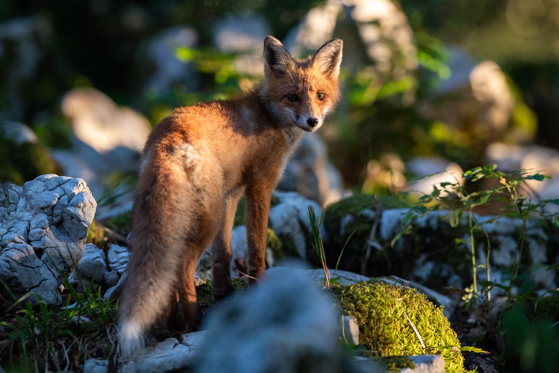 Fuchs wird von Abendsonne beleuchtet