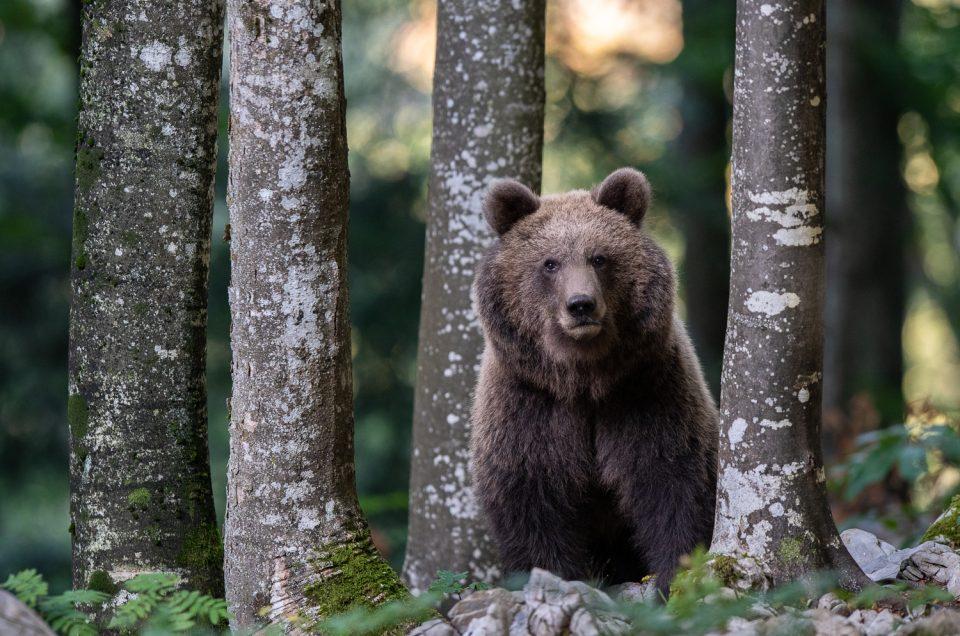 Fotoreise - Wilde Bären in Slowenien