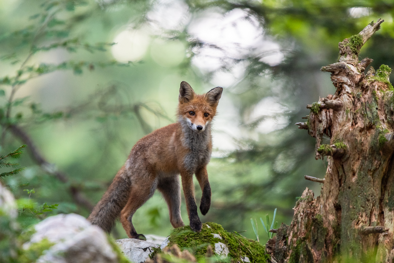 Fuchs stehend im Wald
