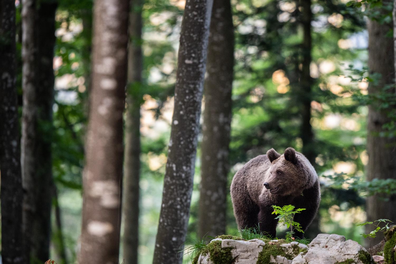 Bär steht im Wald