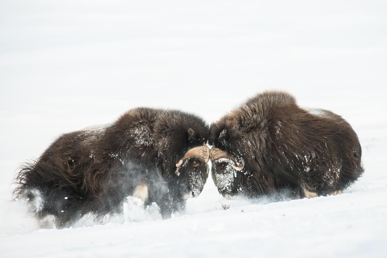 Fotoreise Moschusochsen im Winter, Dovrefjell, Norwegen