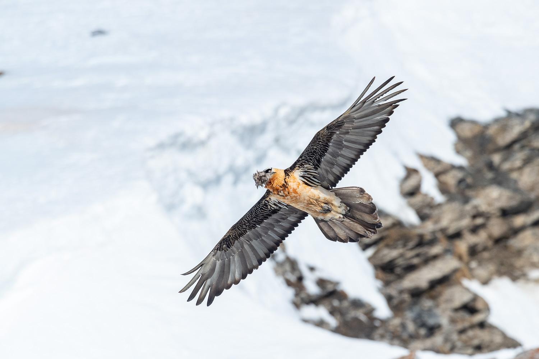 Bartgeier im Flug, Wallis, Schweiz