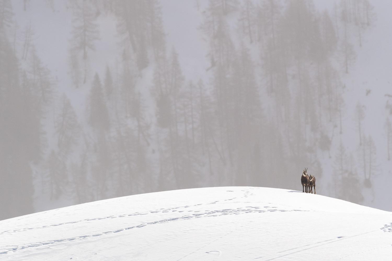 Gämsen auf Schneefeld, Schweiz